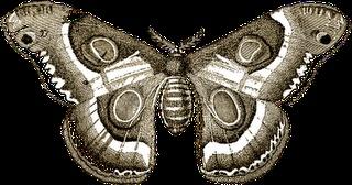 Free Vintage Lunar Moth Natural History Clipart