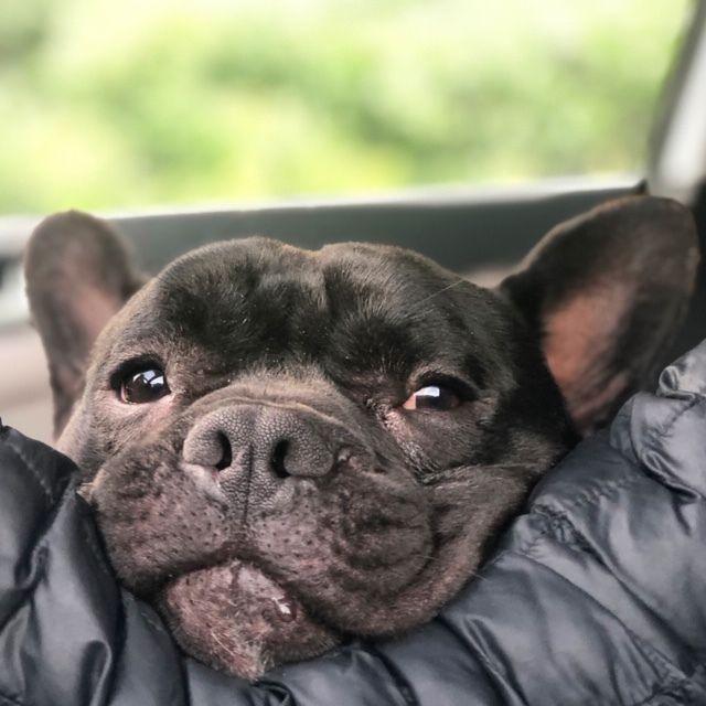 Adopt Frog On Paws Rescue French Bulldog Pet Adoption
