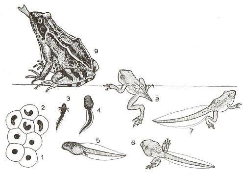 de fases in de ontwikkeling van kikkerdril via kikkervisje tot kikker