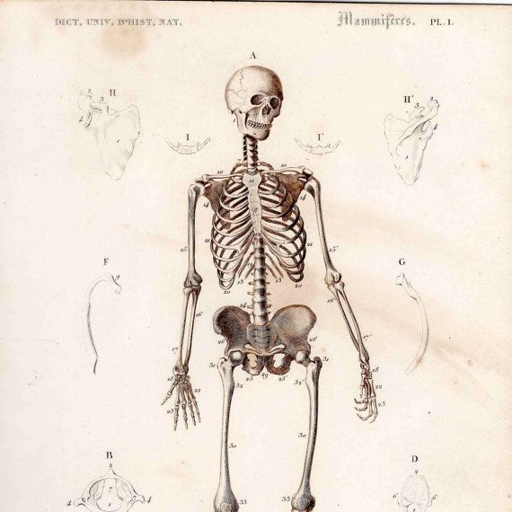 this is a GORGEOUS! dark sepia or chocolate brown ink engraving of the human skeleton it was printed paris in 1849    it measures aprox 6 x 9