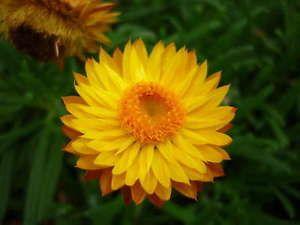 Golden Everlasting Daisy Strawflower Xerochrysum Bracteatum Seeds | eBay