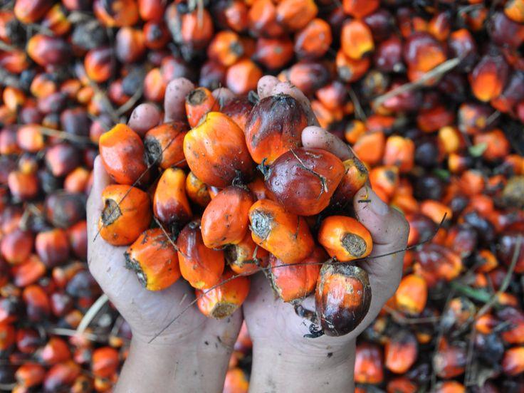 ¿Que es el Aceite de Palma? Segun Wikipedia: El aceite de palma es un aceite de origen vegetal que se obtiene del mesocarpio de la fruta de la palma Elaeis guineensis. Es el segundo tipo de aceite … (esto forma parte de nuestro protocolo de estilo)