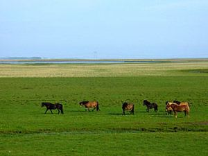 By Richard Gould (Flickr: Horses in Hornafjörður) [CC-BY-2.0 (http://creativecommons.org/licenses/by/2.0)], via Wikimedia Commons