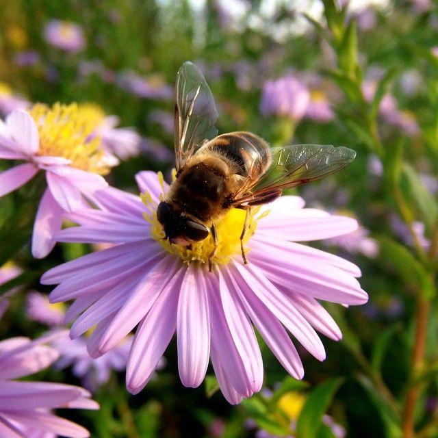 #pszczółka #sunny#nice#day#bee#nature#green#garden#olkusz#Poland@instanature_789#lubiepolske