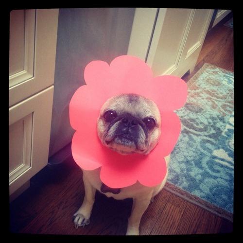 Pug flower power