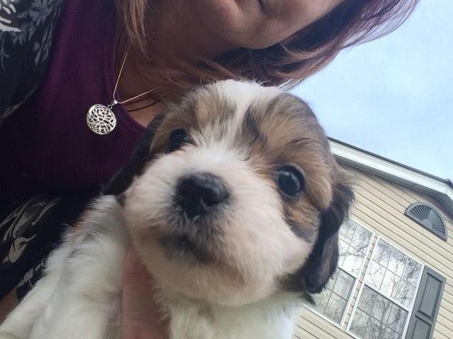 Shih Tzu Maltese Puppies For Sale Animals Cleveland Georgia Announcement 95896 Maltese Maltese Puppies For Sale Maltese Puppy Shih Tzu