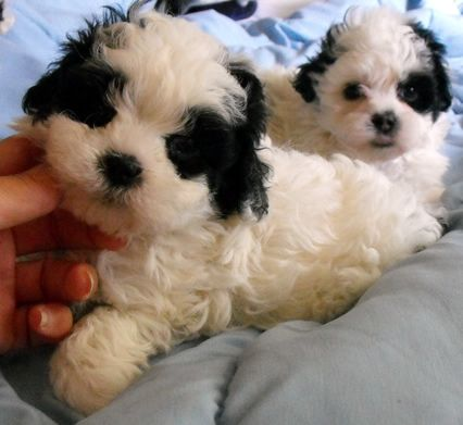 "Mixed breed ""teddy bear"" puppies  i dont want but i need these puppies asap!!!!"