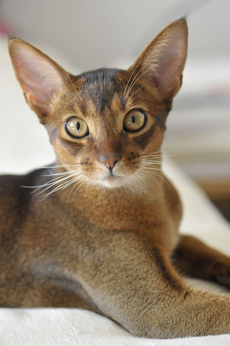 O Abyssinians abyssinian cat ...