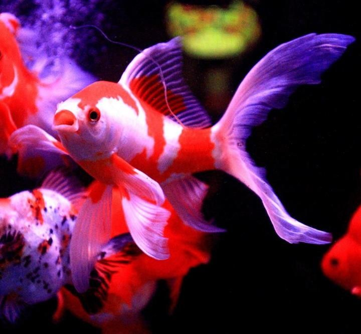 17 best images about gold fish on pinterest bristol for Dragon koi fish for sale