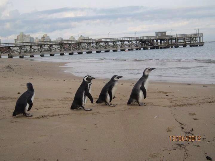 Pinguinos - Punta del Este, Uruguay