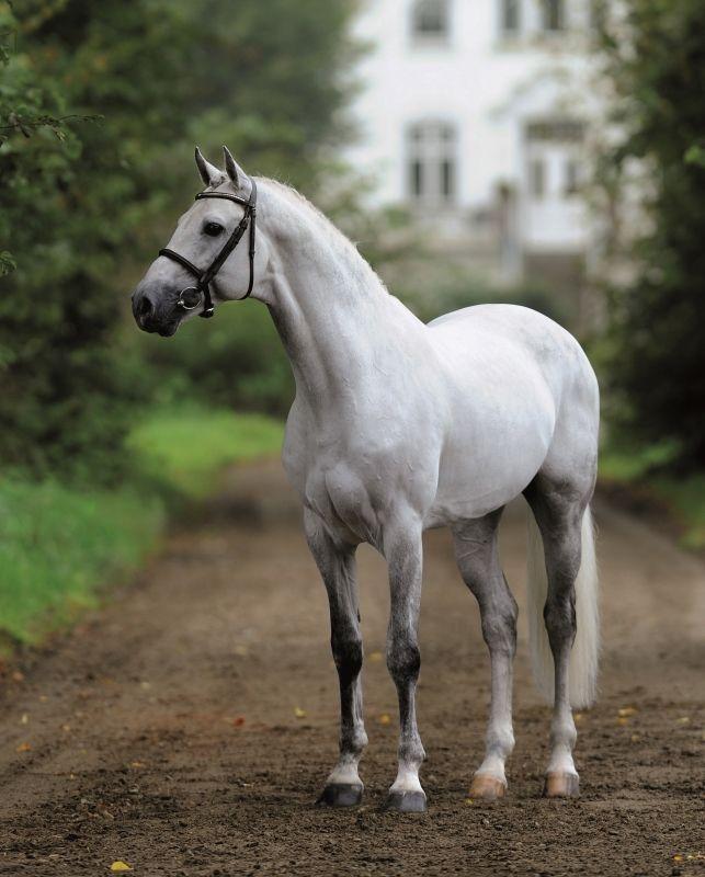 """equine-world: """" Cachas 「Caretino x Pericula」 Holsteiner Stallion """""""