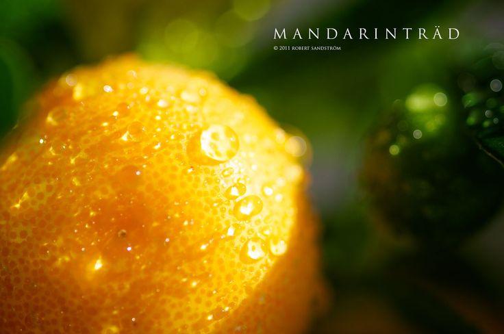 Mandarinträd