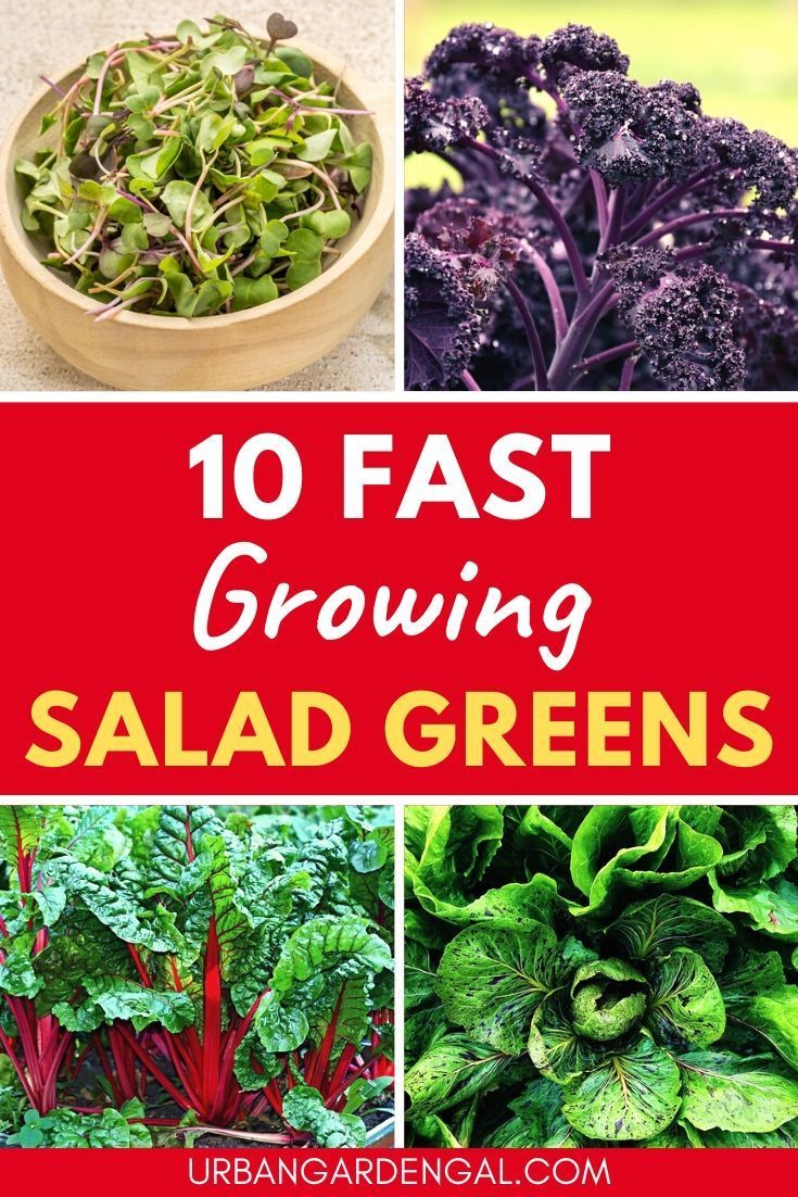 10 Fast Growing Salad Greens In 2020 Growing Vegetables At Home Growing Vegetables Leaf Vegetable