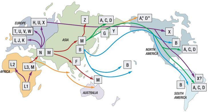 Recorrido de los humanos según los haplogrupos del genoma mitocondrial, desde su salida de África. El óvulo de la mujer aporta la mayor parte de las mitocondrias y demás material citoplasmático; la cabeza del espermatozoide masculino aporta poco más que el ADN paterno. El genoma mitocondrial se hereda, pues, sólo por vía materna. Existe la hipótesis de que las mitocondrias de toda la población humana actual descienden de una primera mujer africana que se ha apodado como la Eva mitocondrial.