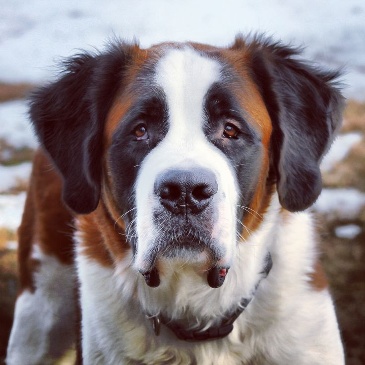 images of saint bernard dogs | Dog Saint Bernard