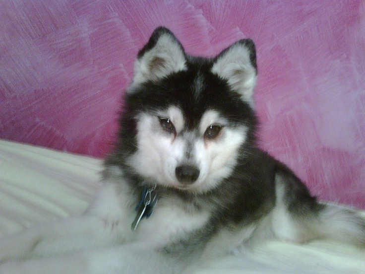 Sweet Blackjack has been missing, possibly stolen, since March 12.  He was last seen in Seneca, IL.  Please share his photo wide and far as he could literally be anywhere.  He's a miniature Husky (Alaskan Klee Kai ) 6 years old and neutered.  Please take a moment to look at Blackjack's photo and if you have seen this dog anywhere or if you have any information, please reach out to Jennifer at  jlert3@gmail.com or 630-768-3661.