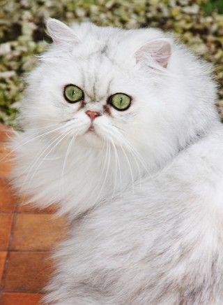 Chinchilla Katze ist eine langhaarige Katze. Ihr Urspruchsland ist Gro0britannien. Sie ist gro0-bis mittelgroß. Der Kater wiegt 10 kg, die Katze hingegen wiegt 8 kg.. Das Äußere der Katze gleicht einer Perserkatze.