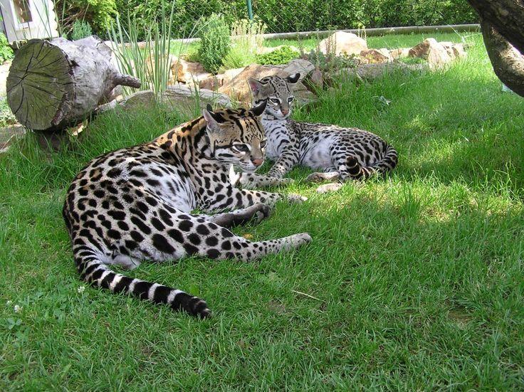 Kočka rybářská je malá kočkovitá šelma obývající bažiny a mangrovové porosty jihovýchodní Asie.