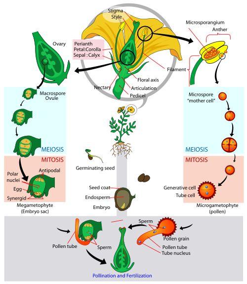 Angiosperm Flowering Plant life cycle diagram Flowers