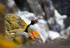 A puffin on Isle of May, Scotland
