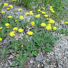 Hieracium pilosella. Mouse ear hawkweed ~ By Arthur Haines.