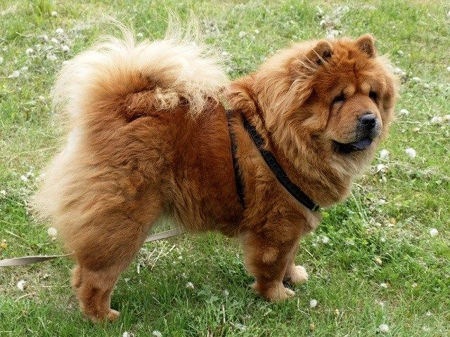 79 Baby Chow Chows For Sale Near Me In 2020 Chow Puppies For Sale Chow Chow For Sale