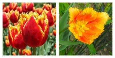 Újdonság: Vásári tulipánok, nárciszok, http://kertinfo.hu/vasari-tulipanok-narciszok/, ezekben a témakörökben:  #hagymák #Kert #Kéziszerszámok #Konyhakertieszközök #Tavaszi, írta: Zöld.ségek Amatőr kerti napló