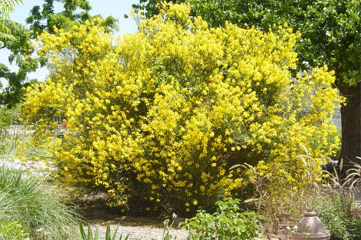 Spanish Broom  Botanical Name:  Spartium junceum Plant Type:  Shrub Plant Form:  Upright Light Required:  Full Sun Water Demand:  Low Plant Height (ft.):  6'-10' Plant Spread (ft.):  5' Ornamental Value:  Bright yellow Months Of Bloom:  Apr - Jun Native Texas Plant:  Adapted Decidiuous/Evergreen:  Evergreen Wildlife Value:   Comments:  Very fragrant blooms. Good early spring color. Can be brought into bloom with selective pruning. Blooms on new growth.