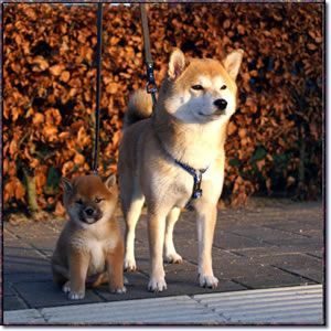 Google Image Result for http://www.thepetdirectory.us/Dogbreeds/shibainu.jpg