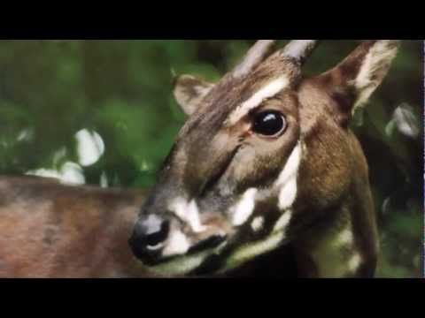 how to save the saola The saola was discovered in may 1992 during a joint survey carried out by the ministry of forestry of working together to save the saola by world.