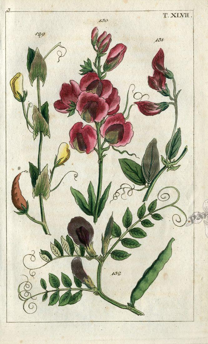 sweet pea flowers botanical