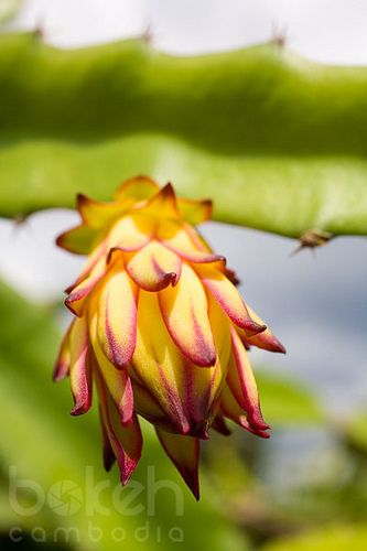 Dragon fruit flower | Siem Reap Province, Cambodia