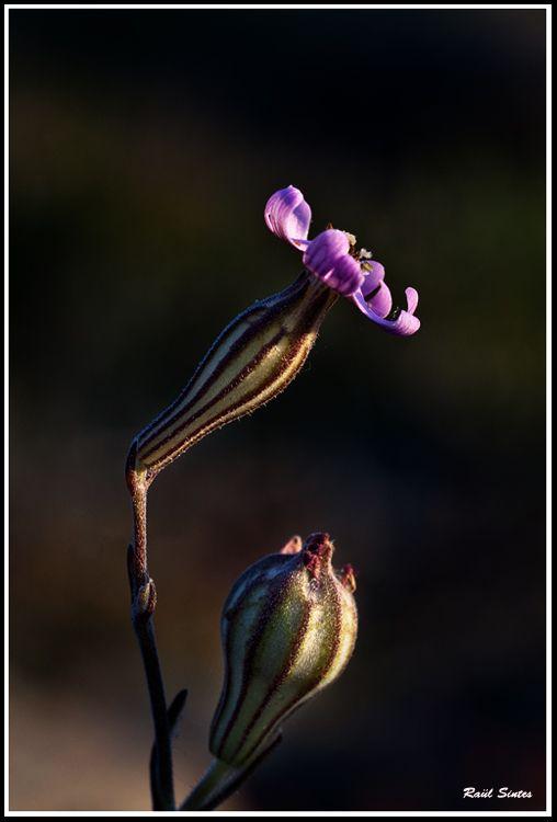 Menorquí: Cinc llagues. Molinets. Castellano: Carmentilla. English: Small-Flowered Catchfly on Revelartfotografía  http://www.revelartfotografia.org/wp-content/gallery/botanica/Silene-gallica-210414_6947-750-.jpg