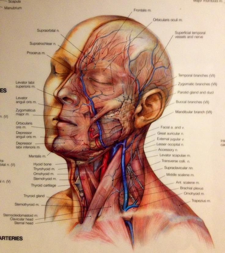 140 Best Facial Anatomy Images By Dr David Mabrie On Pinterest