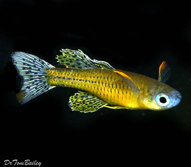 17 best images about guppy aquarium on pinterest for Freshwater rainbow fish