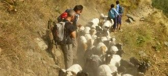 Our trekking group waiting to cross with Sheeps in manaslu photo tour.