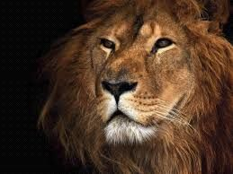 Lion Wallpaper Awesome H772 - 1001 Wallpapers