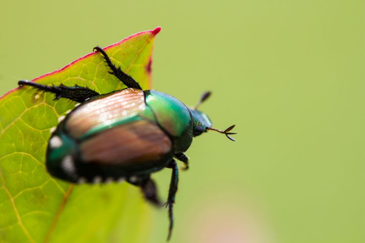Looking to control the bugs in your garden? Learn how to get rid of Japanese Beetles with these tips from The Old Farmer's Almanac.