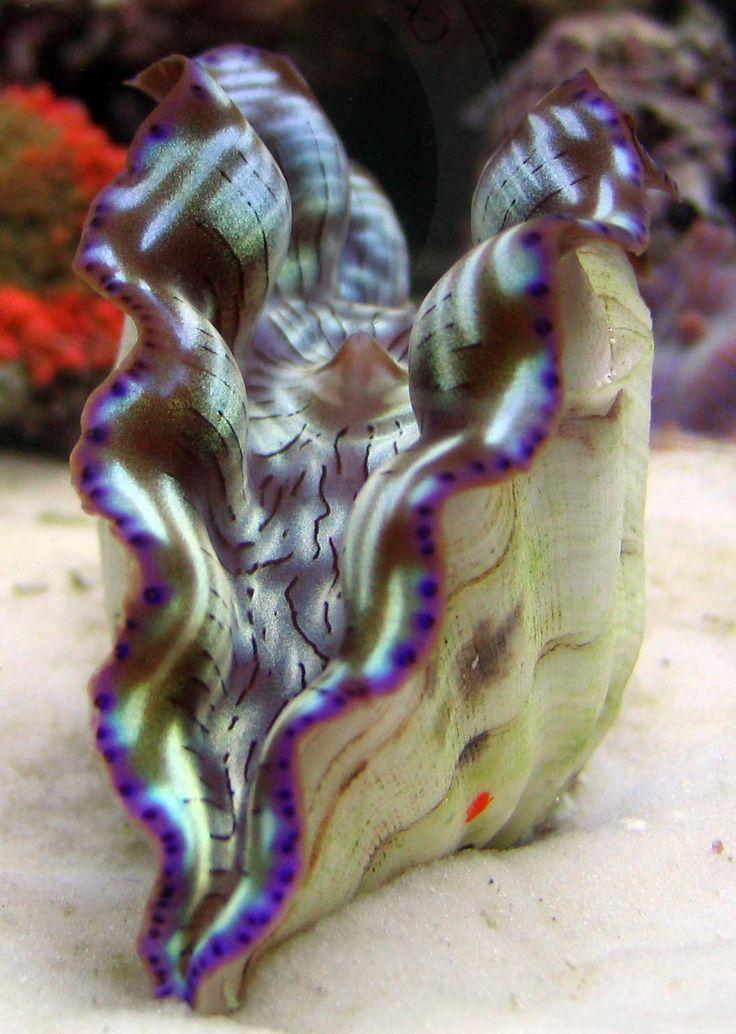 Derasa Clam - ©Tyler Merrick - http://tylermerrick.com/blog/index.php/marine-inverts/