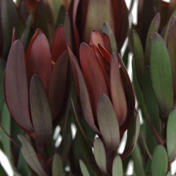 FiftyFlowers.com - Safari Sunset Leucadendron