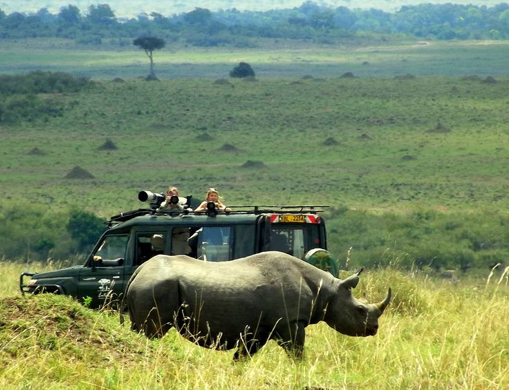 Um rinoceronte negro, enorme como este, cada dia mais raro no território (só estão confirmados SEIS negros no Masai-Mara) deixa as fotógrafas assanhadas!