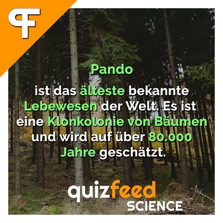 Pando ist das älteste bekannte Lebewesen der Welt. Es ist eine Klonkolonie von Bäumen und wird auf über 80.000 Jahre geschätzt.  Es ist mit etwa 6000 Tonnen Gewicht auch das schwerste Lebewesen der Welt. Die Bäume sind über ein Wurzelsystem miteinander verbunden und bilden somit einen einzelnen Organismus. Es sterben zwar einzelne Baumstämme ab, die Kolonie besteht jedoch als Ganzes fort. . #wissen #pando #lebewesen #Baum #bäume #alt #natur #Umwelt #wald #naturschutz #Fakten #naturliebe