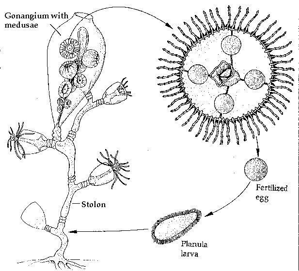 65 Best Jellyfish Images On Pinterest Jellyfish Medusa And Life