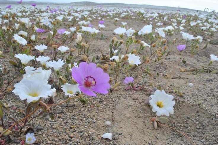 Desierto florido de Atacama