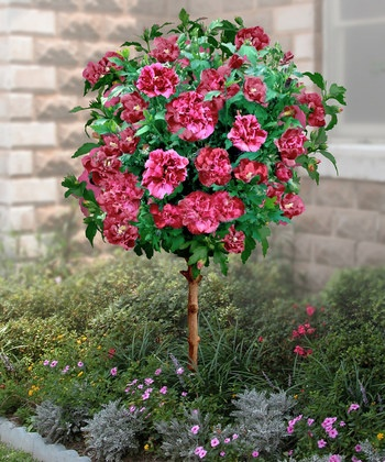 Cottage Farms Direct | Double Red Hardy Hibiscus TreeDouble Red, Hibiscus Trees, Flower Trees, Rose Trees, Hardy Hibiscus, Cottages Farms, Outdoor Gardens, Red Hardy, Farms Direction