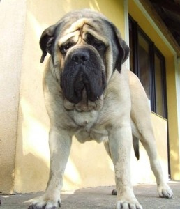Old English Mastiffs... Best dogs in the world!