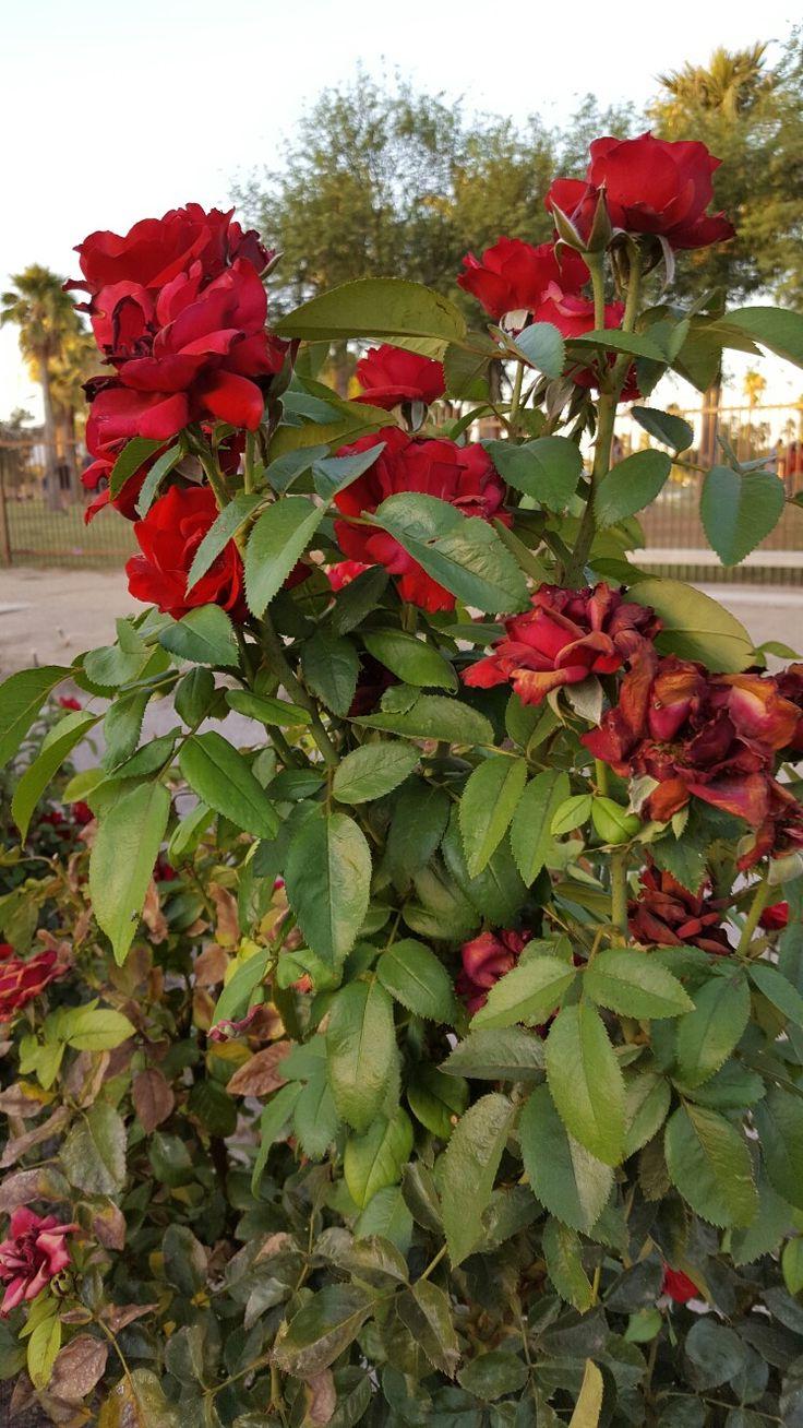 Pin by rose on garden Beautiful flowers, Flowers