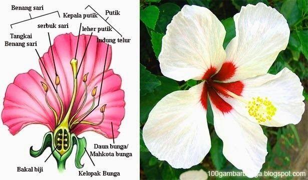 Menakjubkan 23 Gambar Bunga Sepatu Dan Bagian Bagiannya Serta Fungsinya 10 Bagian Beserta Fungsi Bunga Kembang Sepatu Brai Di 2020 Bunga Kembang Sepatu Menanam Bunga