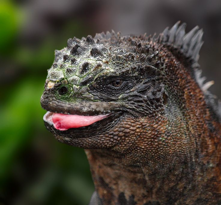 228 best Reptiles images on Pinterest | Reptiles, Lizards and Amphibians