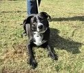 Borador Dog For Adoption in Poughkeepsie, GA, USA